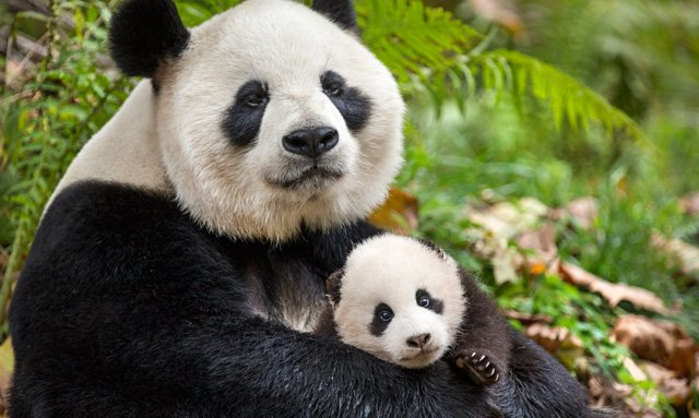 Interview: John Krasinski Talks About Disneynature's Born in China